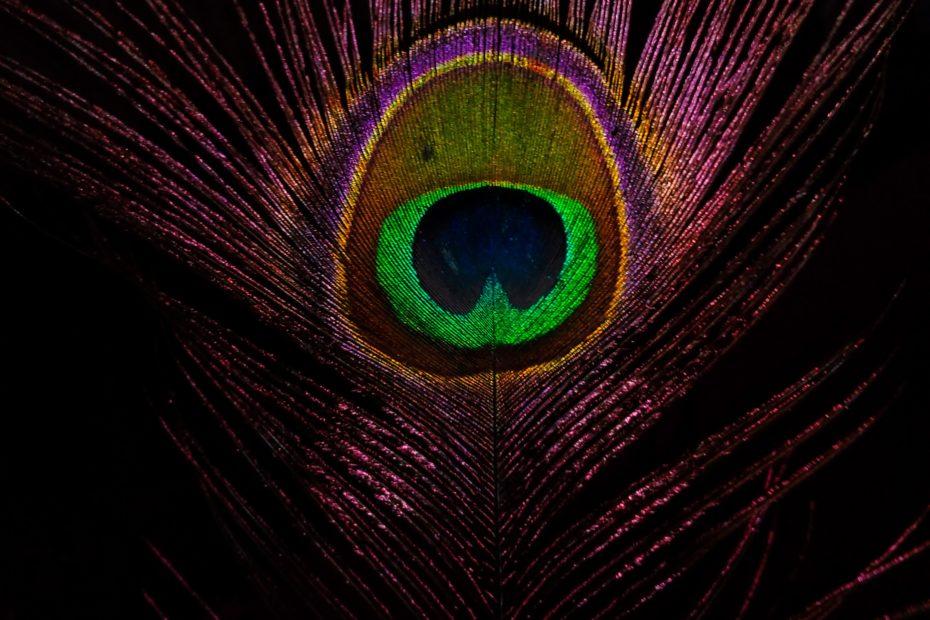 Purple peacock feather. Photograph by Ayush Tiwari