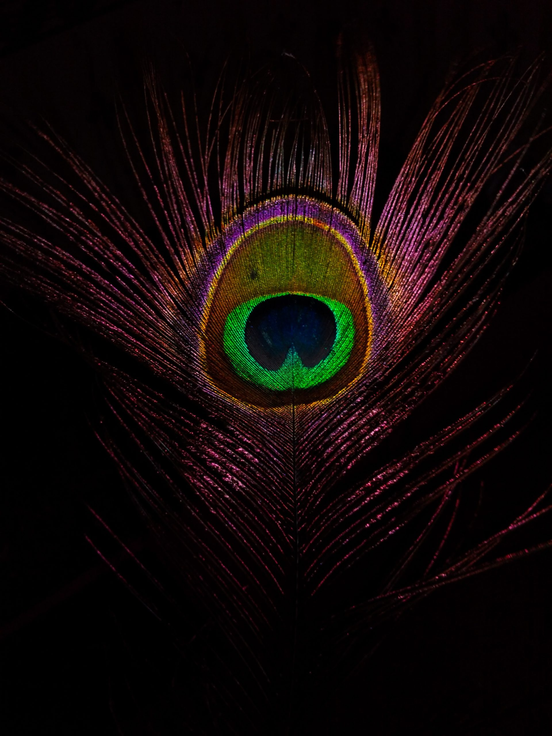 ayush-tiwari-purple peacock feather
