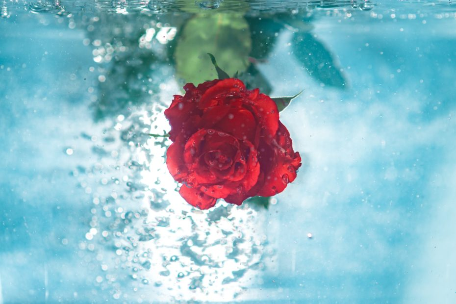 Rose underwater. Image by Jamie Street